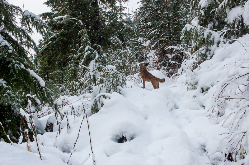 Shoulda brought the snowshoes | Arrowsmith CPR Trail Trip Report